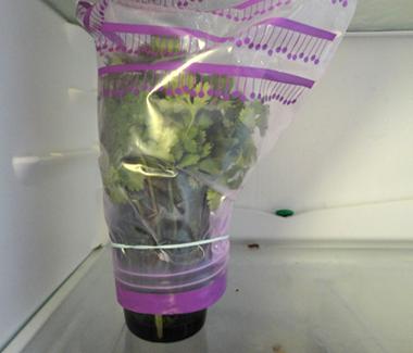 Du kan opbevare korianderen i køleskabet i op til 4 uger. Sæt stænglerne i et glas vand og kom en frysepose over bundtet.