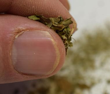Du smuldrer bukkehornsbladene mellem fingrene.